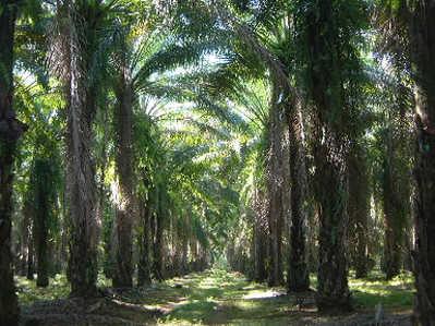 Sorpresiva baja en precio de la palma en Honduras